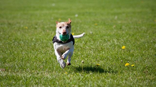 Hund løber